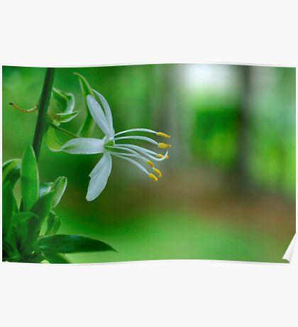 Delicate Spider Plant Blossom Poster