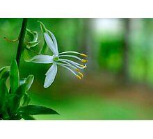 Delicate Spider Plant Blossom Photographic Print