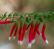 Fuchsia Heath. by Bette Devine