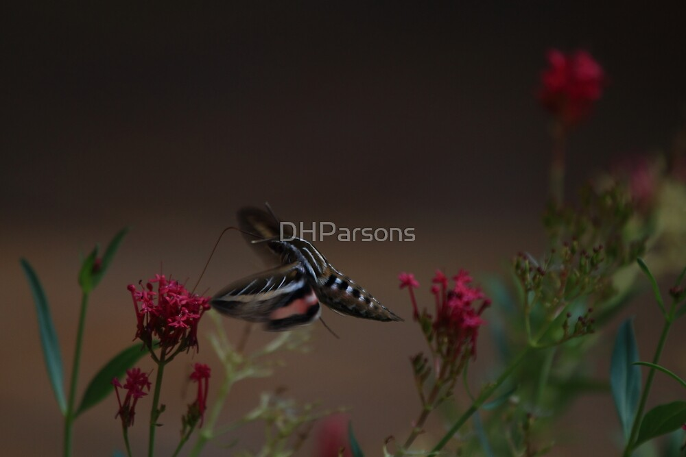 Hummingbird moth by DHParsons