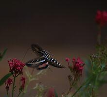 Hummingbird moth by DHParsons