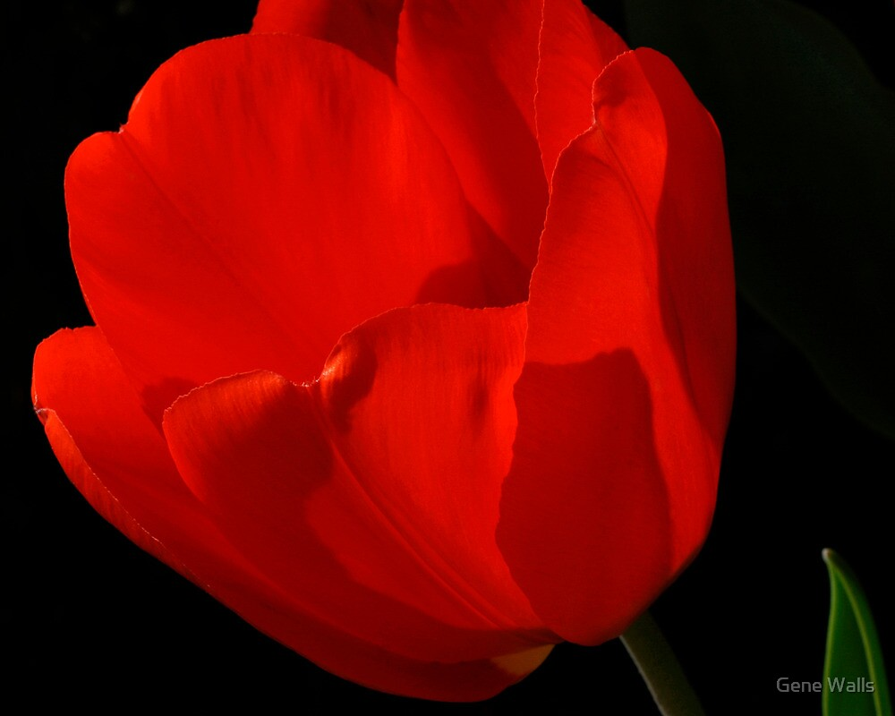 Sunlight Filtered Through A Red Tulip by Gene Walls