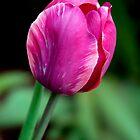 Lone Tulip by Gene Walls