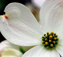 Dogwood's Promise by Gene Walls