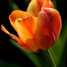 Firey Tulip by Gene Walls