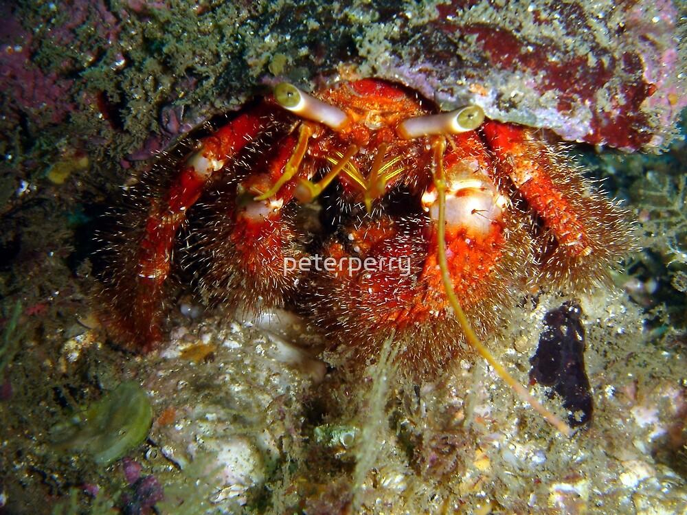Hermit Crab by peterperry