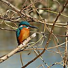 A Kingfisher in a Bare Tree by kibishipaul
