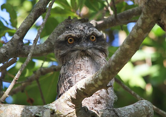 Chilling, Frogmouth Style by byronbackyard