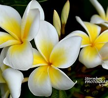 Summertime frangipanis... by Stormboy