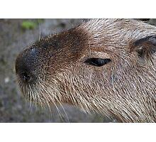 Capybara Photographic Print