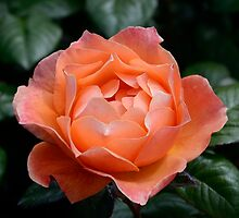 Fellowship rose by DebbyScott