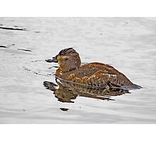 Ruddy Duck Enjoying a Quite Christmas Morning Photographic Print