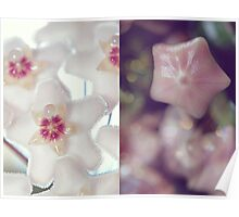 Hoya Blossom and Bud Diptych Poster
