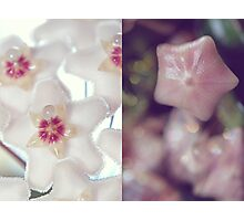 Hoya Blossom and Bud Diptych Photographic Print