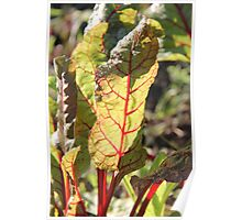 Swiss Chard in the morning light  Poster