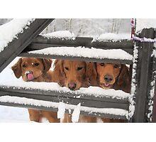 Trio Of Goofy Golden Retrievers Photographic Print