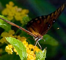 Gulf Fritillary Butterfly Sipping Nectar by Gene Walls