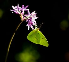 Cloudless Sulphur & Bokeh by Gene Walls