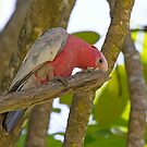 Galah by mncphotography