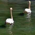 Paddling Swans by John Maxwell