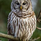 Barred Owl Close-up by Bill McMullen