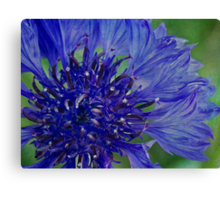 Cornflower so blue Canvas Print