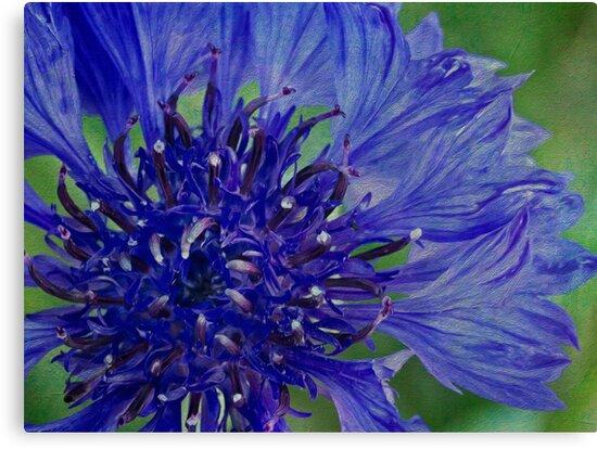 Cornflower so blue by Celeste Mookherjee