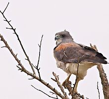 White Tailed Hawk by SuddenJim