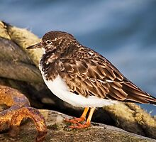 Turnstone At The Harbour by Susie Peek