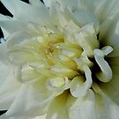 A fall close-up of a Dahlia by jammingene