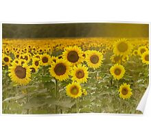 Sunlit field of Sunflowers Poster