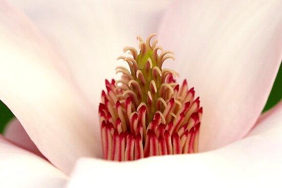 "Magnolia's Carpel ""Crown"" by Gene Walls"