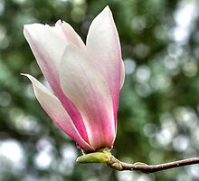 Evergreen Bokeh Highlights One New Magnolia Blossom by Gene Walls
