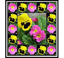 Brave Little Soldiers - Winter Pansies and Primroses Photographic Print