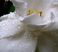 Delicate and Fragrant Gardenia Sticker