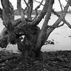 Lake Ainsworth Gnarled Paperbark Tree by GrowingWild