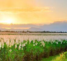 Caneflower Sunset, Innisfail, NQ by Giovanna Devlin
