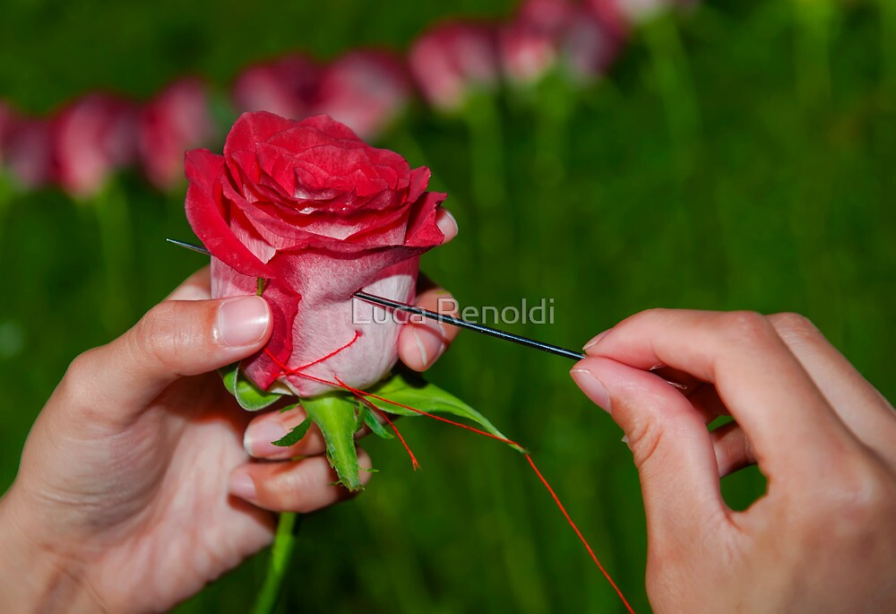 Rose-Rose by Luca Renoldi