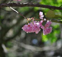 Cherry blossom or Sakura by Haz Preena