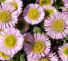 Beach Asters by Rachel Down