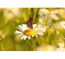 Field Of Daisies Photographic Print