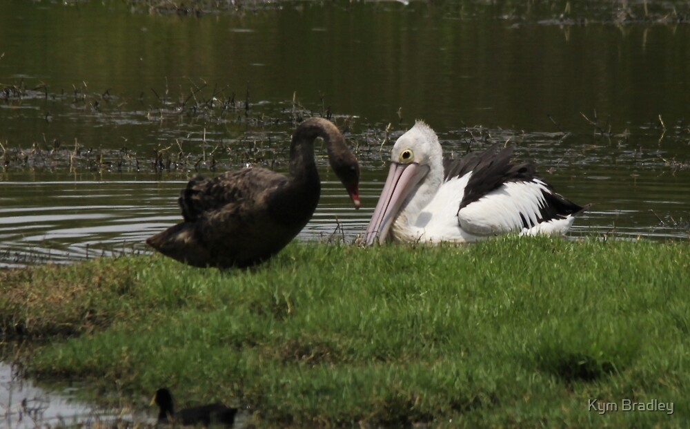 Meeting of the Baby Swan and pelican by Kym Bradley
