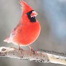 Cardinal by Penny Rinker
