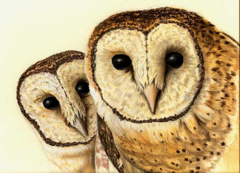 Tasmanian Masked Owl (Tyto novaehollandiae castanops) by Elizabeth Russell-Arnot