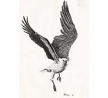 White-bellied Sea-Eagle (Haliaeetus leucogaster) Photographic Print
