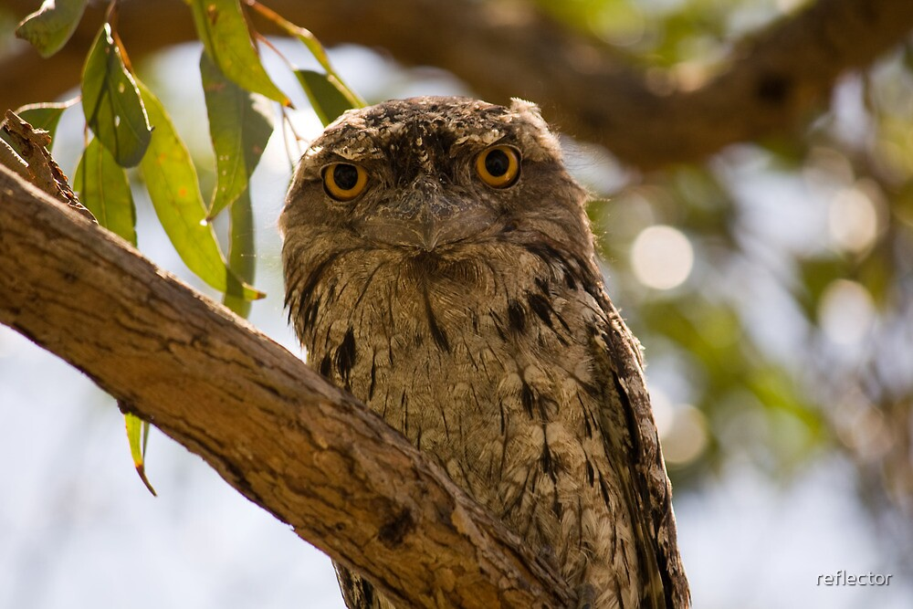 Australian Wildlife - Adult Tawny Frogmouth by reflector