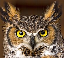 Canadian Horned Owl by Dave  Knowles