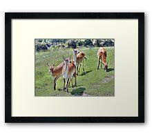 Red Lechwe Antelope Framed Print