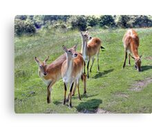 Red Lechwe Antelope Canvas Print