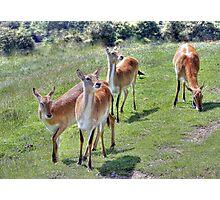 Red Lechwe Antelope Photographic Print